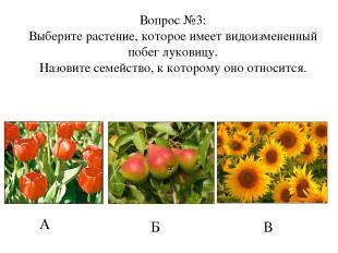 А Б В Вопрос №3: Выберите растение, которое имеет видоизмененный побег луковицу.