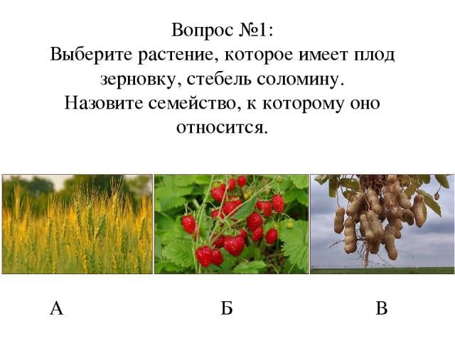 Вопрос №1: Выберите растение, которое имеет плод зерновку, стебель соломину. Назовите семейство, к которому оно относится. А Б В