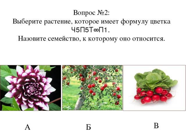 А Б В Вопрос №2: Выберите растение, которое имеет формулу цветка Ч5П5Т∞П1. Назовите семейство, к которому оно относится.