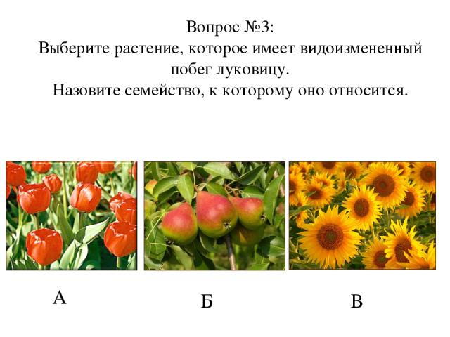 А Б В Вопрос №3: Выберите растение, которое имеет видоизмененный побег луковицу. Назовите семейство, к которому оно относится.