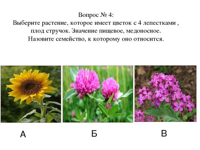 А Б В Вопрос № 4: Выберите растение, которое имеет цветок с 4 лепестками , плод стручок. Значение пищевое, медоносное. Назовите семейство, к которому оно относится.