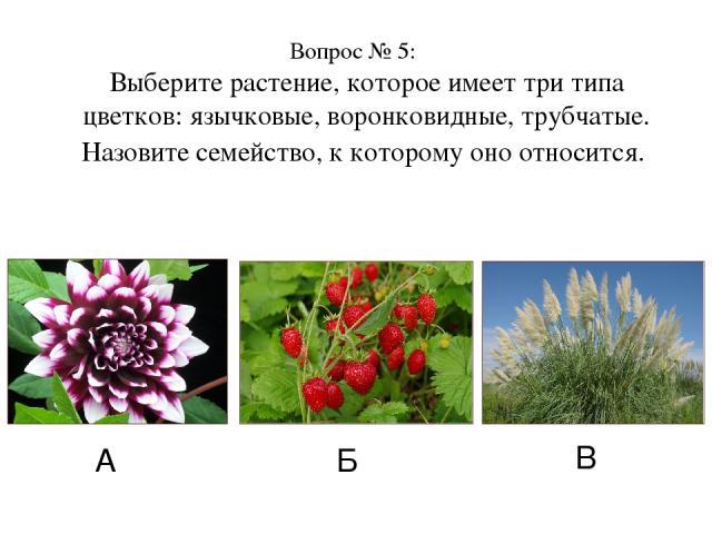 Вопрос № 5: Выберите растение, которое имеет три типа цветков: язычковые, воронковидные, трубчатые. Назовите семейство, к которому оно относится. А Б В