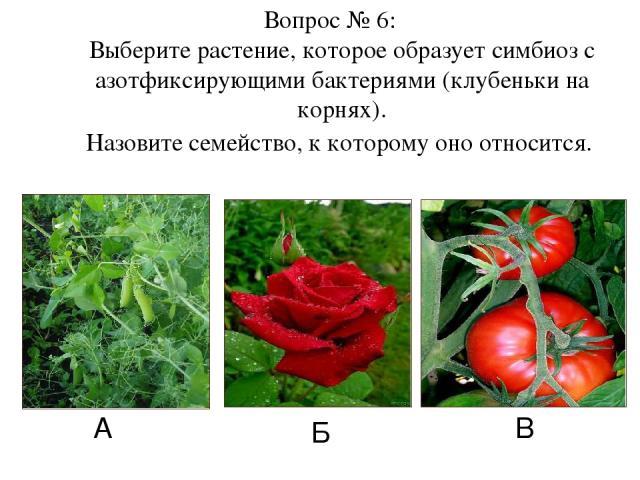 А Б В Вопрос № 6: Выберите растение, которое образует симбиоз с азотфиксирующими бактериями (клубеньки на корнях). Назовите семейство, к которому оно относится.
