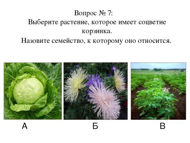 А Б В Вопрос № 7: Выберите растение, которое имеет соцветие корзинка. Назовите семейство, к которому оно относится.