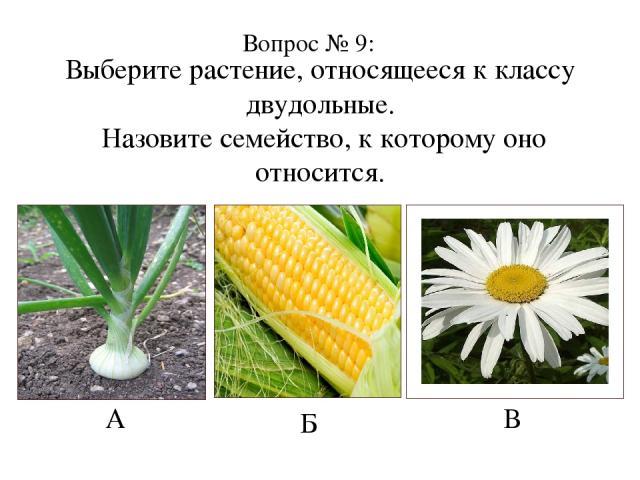 Выберите растение, относящееся к классу двудольные. Назовите семейство, к которому оно относится. А Б В Вопрос № 9: