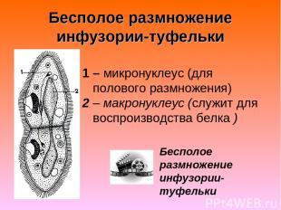 Бесполое размножение инфузории-туфельки 1 – микронуклеус (для полового размножен