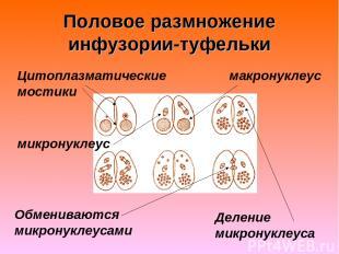 Половое размножение инфузории-туфельки Цитоплазматические мостики Обмениваются м
