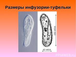 Размеры инфузории-туфельки