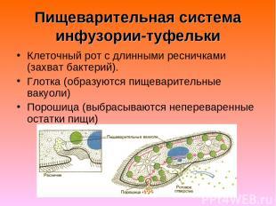 Пищеварительная система инфузории-туфельки Клеточный рот с длинными ресничками (