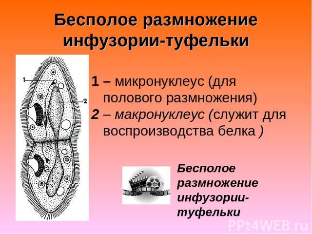 Бесполое размножение инфузории-туфельки 1 – микронуклеус (для полового размножения) 2 – макронуклеус (служит для воспроизводства белка ) Бесполое размножение инфузории-туфельки