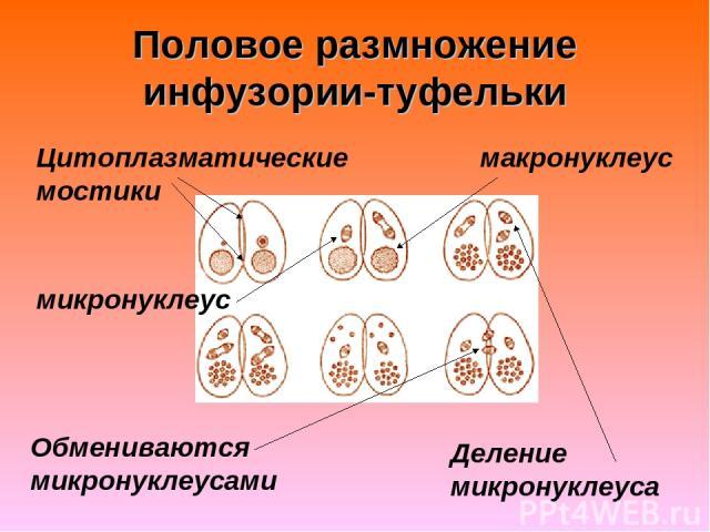 Половое размножение инфузории-туфельки Цитоплазматические мостики Обмениваются микронуклеусами макронуклеус микронуклеус Деление микронуклеуса