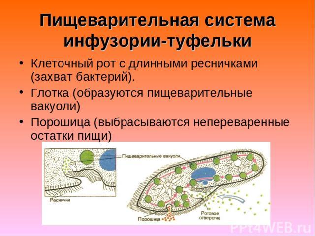 Пищеварительная система инфузории-туфельки Клеточный рот с длинными ресничками (захват бактерий). Глотка (образуются пищеварительные вакуоли) Порошица (выбрасываются непереваренные остатки пищи)