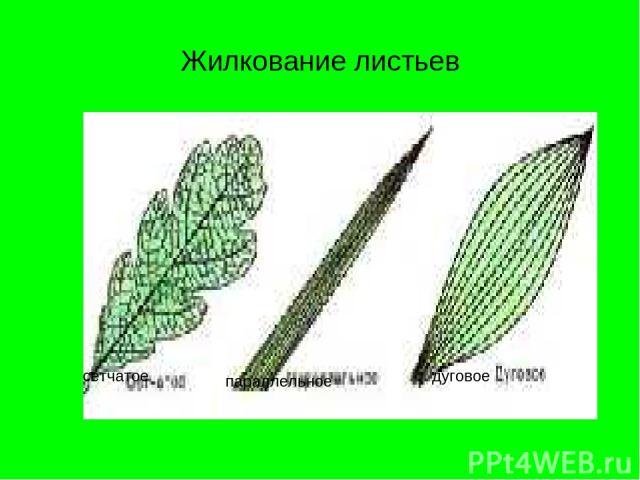 Жилкование листьев сетчатое параллельное дуговое