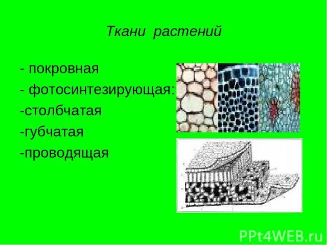 Ткани растений - покровная - фотосинтезирующая: -столбчатая -губчатая -проводящая
