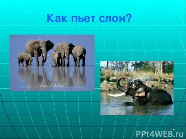 * Как пьет слон?