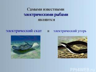 Самыми известными электрическими рыбами являются электрический скат электрически