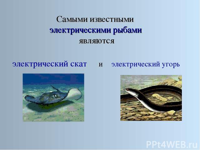 Самыми известными электрическими рыбами являются электрический скат электрический угорь и