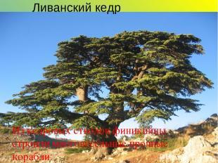 Ливанский кедр Из кедровых стволов финикийцы строили многовёсельные прочные кора