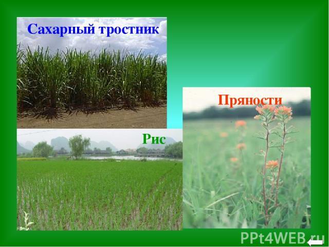 Пряности Сахарный тростник Рис