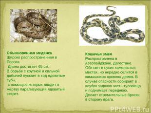 Обыкновенная медянка Широко распространенная в России. Длина достигает 65 см. В