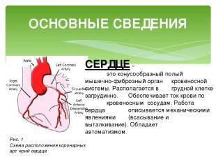 ОСНОВНЫЕ СВЕДЕНИЯ СЕРДЦЕ – это конусообразный полый мышечно-фиброзный орган кров