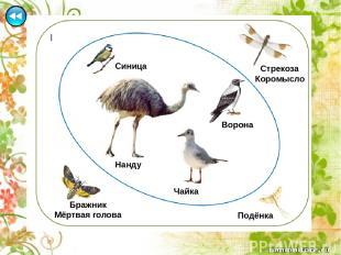 Гинета - млекопитающее семейства виверровые отряд хищные (к этому же семейству о