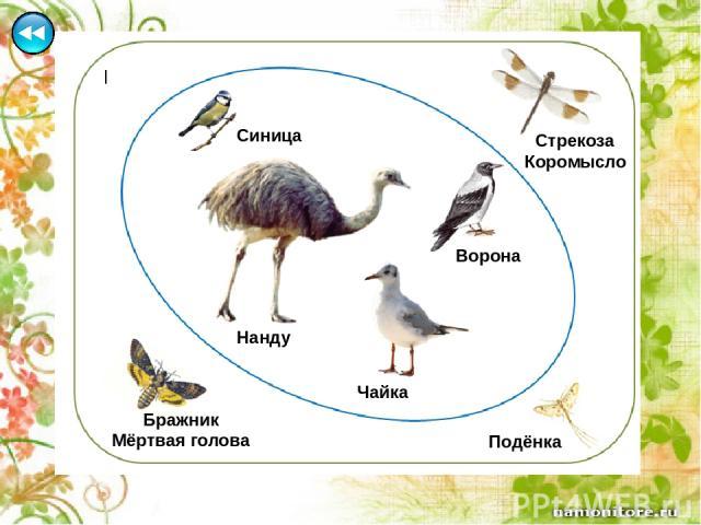 Гинета - млекопитающее семейства виверровые отряд хищные (к этому же семейству относится мангуст, известный многим детям по сказке Р. Киплинга). Гинеты - небольшие зверьки (1-2 кг), с вытянутым тонким телом длиной 42-58 см, с длинным (39-53 см) пуши…