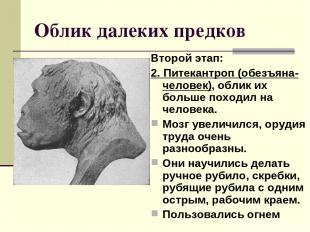 Облик далеких предков Второй этап: 2. Питекантроп (обезъяна-человек), облик их б