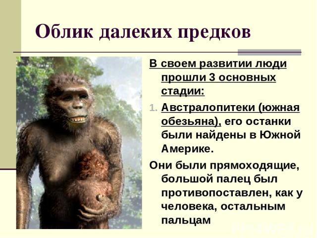 Облик далеких предков В своем развитии люди прошли 3 основных стадии: Австралопитеки (южная обезьяна), его останки были найдены в Южной Америке. Они были прямоходящие, большой палец был противопоставлен, как у человека, остальным пальцам