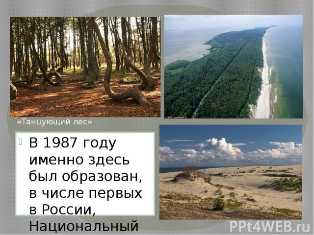 В 1987 году именно здесь был образован, в числе первых в России, Национальный парк «Куршская коса». «Танцующий лес»