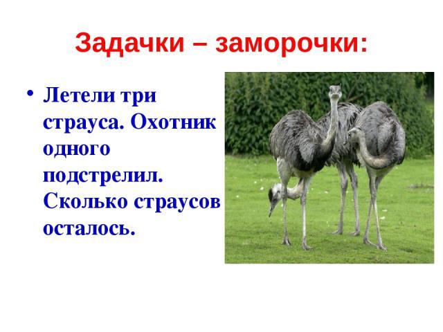 Задачки – заморочки: Летели три страуса. Охотник одного подстрелил. Сколько страусов осталось.