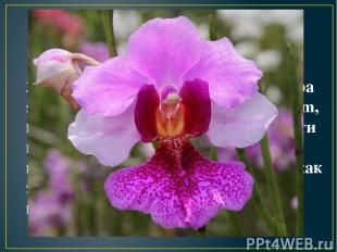 2. Национальным цветком Сингапура является орхидея Vanda Miss Joaquim, которая и