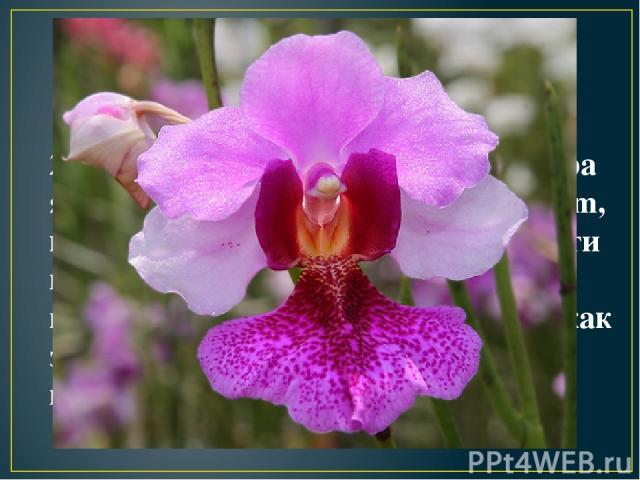 2. Национальным цветком Сингапура является орхидея Vanda Miss Joaquim, которая из-за своей жизнеспособности и благодаря круглогодичному цветению, стала символом страны, как знак стремления сингапурцев к прогрессу.