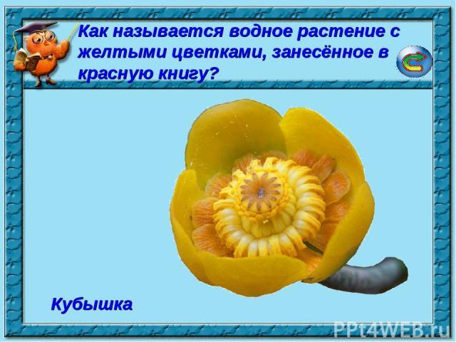 * Кубышка Как называется водное растение с желтыми цветками, занесённое в красную книгу?
