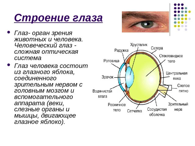 Строение глаза Глаз- орган зрения животных и человека. Человеческий глаз - сложная оптическая система Глаз человека состоит из глазного яблока, соединенного зрительным нервом с головным мозгом и вспомогательного аппарата (веки, слезные органы и мышц…