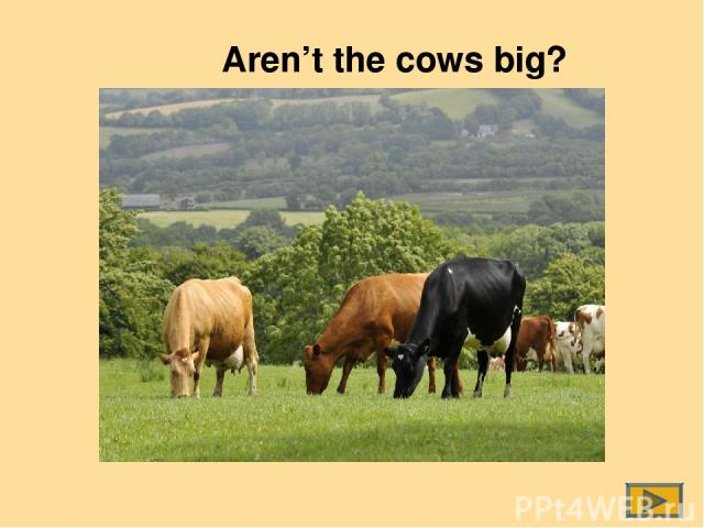 Aren't the cows big?