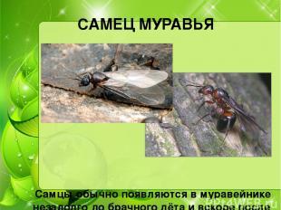 САМЕЦ МУРАВЬЯ Самцы обычно появляются в муравейнике незадолго до брачного лёта и