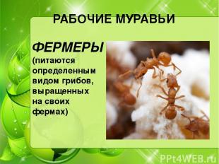 РАБОЧИЕ МУРАВЬИ ФЕРМЕРЫ (питаются определенным видом грибов, выращенных на своих