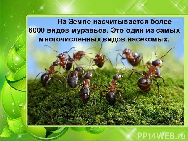 На Земле насчитывается более 6000 видов муравьев. Это один из самых многочисленных видов насекомых.