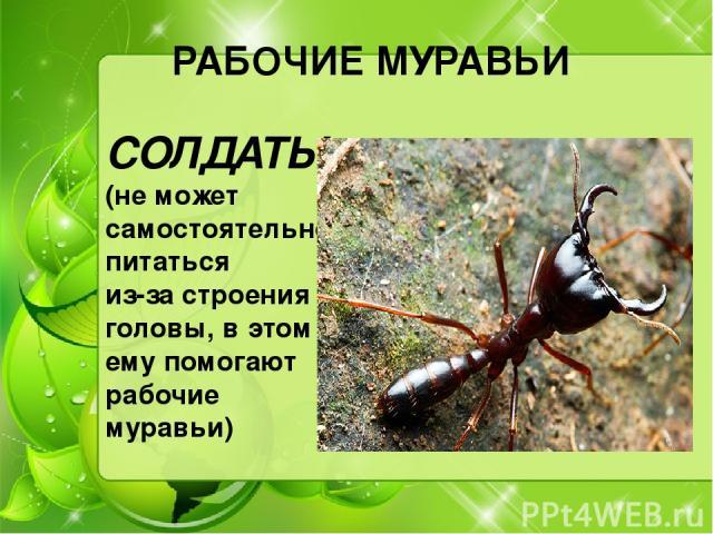 РАБОЧИЕ МУРАВЬИ СОЛДАТЫ (не может самостоятельно питаться из-за строения головы, в этом ему помогают рабочие муравьи)