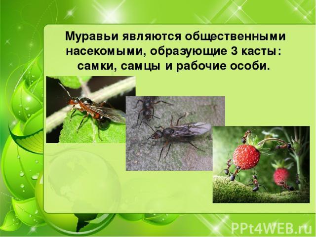 Муравьи являются общественными насекомыми, образующие 3 касты: самки,самцыи рабочие особи.