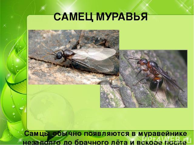 САМЕЦ МУРАВЬЯ Самцы обычно появляются в муравейнике незадолго до брачного лёта и вскоре после спаривания погибают