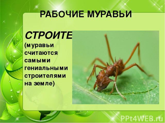 РАБОЧИЕ МУРАВЬИ СТРОИТЕЛИ (муравьи считаются самыми гениальными строителями на земле)