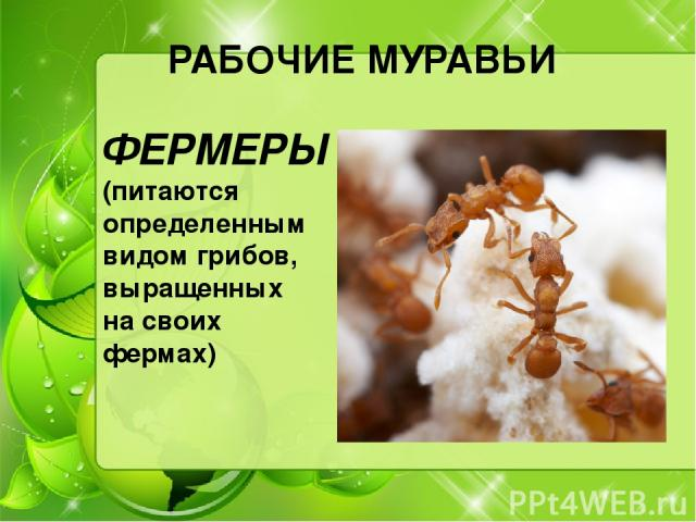 РАБОЧИЕ МУРАВЬИ ФЕРМЕРЫ (питаются определенным видом грибов, выращенных на своих фермах)