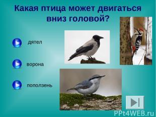 Какая птица может двигаться вниз головой? дятел ворона поползень