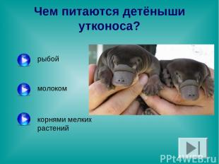 Чем питаются детёныши утконоса? рыбой молоком корнями мелких растений