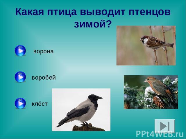 Какая птица выводит птенцов зимой? ворона воробей клёст