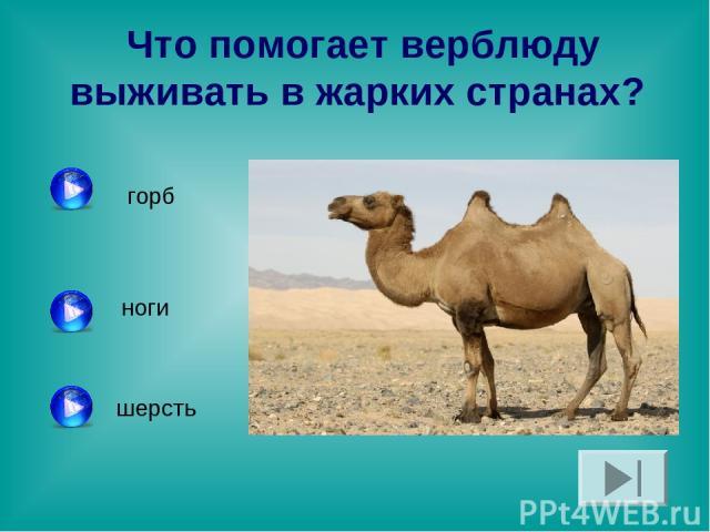 Что помогает верблюду выживать в жарких странах? горб ноги шерсть
