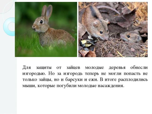 Для защиты от зайцев молодые деревья обнесли изгородью. Но за изгородь теперь не могли попасть не только зайцы, но и барсуки и ежи. В итоге расплодились мыши, которые погубили молодые насаждения.