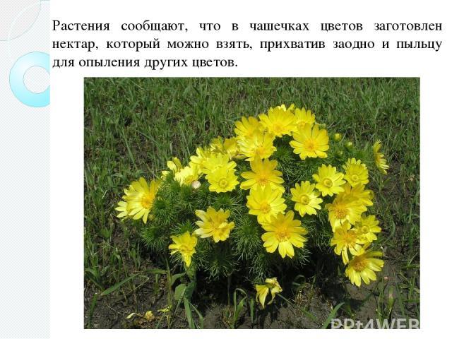 Растения сообщают, что в чашечках цветов заготовлен нектар, который можно взять, прихватив заодно и пыльцу для опыления других цветов.
